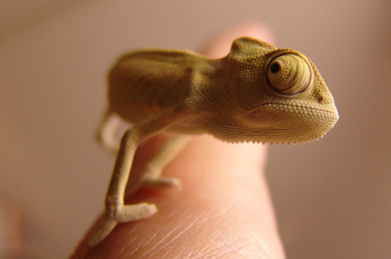 Chameleon Herkunft