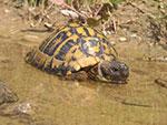 Die Griechische Landschildkröte beim Baden