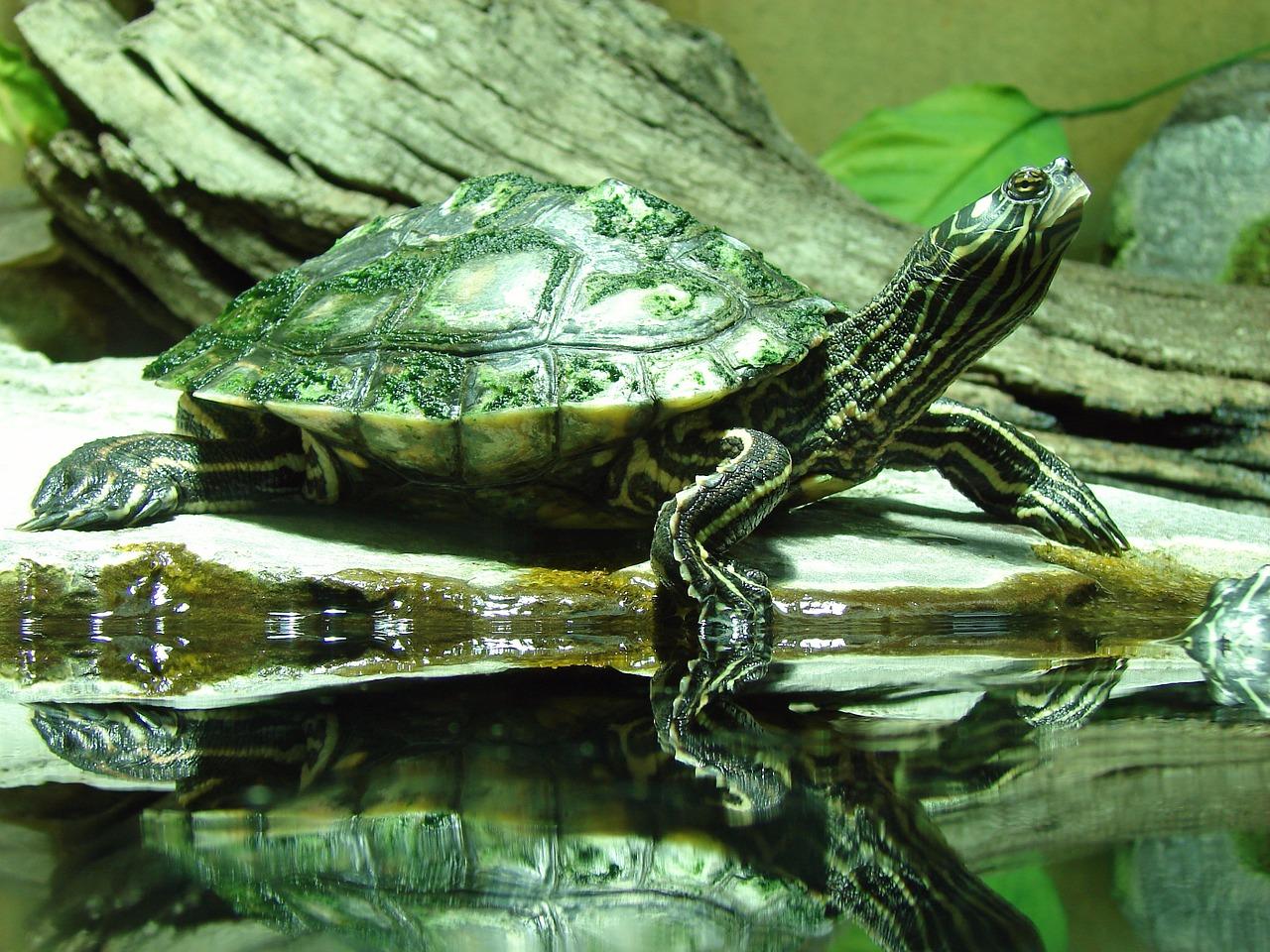 Wasserschildkröten Arten