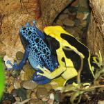 Färberfrosch: Azurblau und Schwarz-Gelb