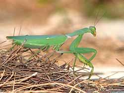 Grüne Gottesanbeterin(Sphodromantis viridis)