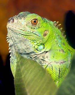 Grüner Leguan: Eine der beliebtesten Leguane fürs Terrarium