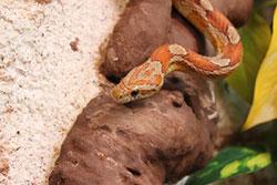 Kornnatter-Haltung, Pflege der beliebten Schlangenart