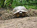 Breitrandschildkröte beim Nestbau