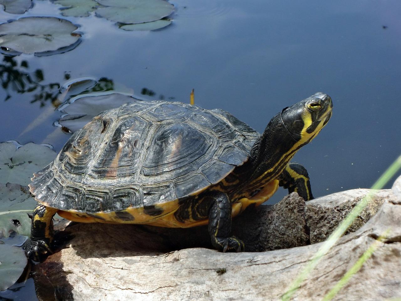 Die Gelbwangen-Schmuckschildkröte