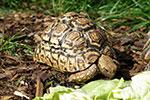 Pantherschildkröte bei der Nahrungsaufnahme