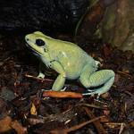 Schrecklicher Pfeilgiftfrosch: Grün