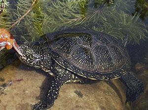 Wasserschildkröte kaufen: Die europäische Sumpfschildkröte