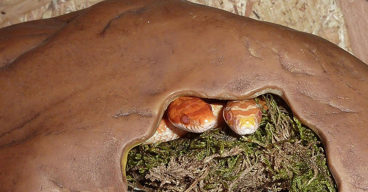 Kornnatter-Terrarium: Eine natürliche Lebensumgebung schaffen